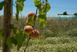 albaricoque-huertos-ecologicos