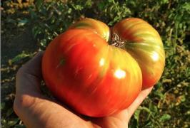 huerto tomate