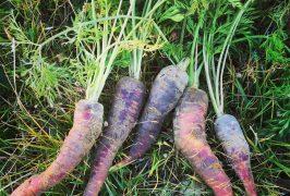 huerto zanahoria