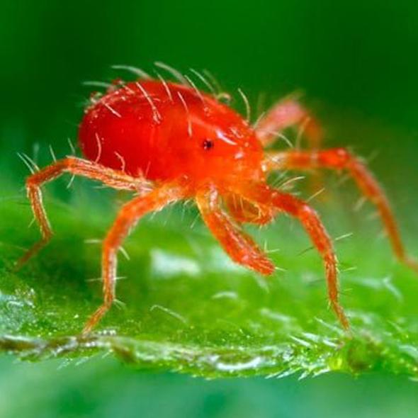 La Araña Roja. ¿Cómo eliminarla con remedios ecológicos?