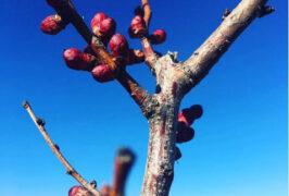 huerto-frutal-madrid-almendro