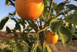 naranja huerto