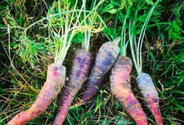 zanahorias-ecologicas